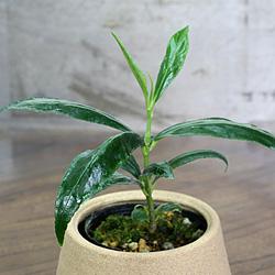 2「伝統園芸植物」百両金・(からたちばな)西山百種・ニシヤマヒャクシュ