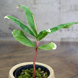 2「伝統園芸植物」百両金・(からたちばな)上巻鳳凰・アゲマキホウオウ