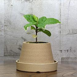 1「伝統園芸植物」百両金・(からたちばな)萌黄麟鳳・モエギリンポウ