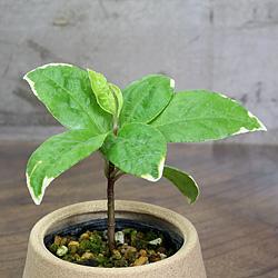 2「伝統園芸植物」百両金・(からたちばな)萌黄麟鳳・モエギリンポウ