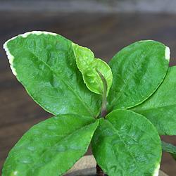 3「伝統園芸植物」百両金・(からたちばな)萌黄麟鳳・モエギリンポウ