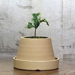 1「伝統園芸植物」百両金・(からたちばな)萬宝錦・バンポウニシキ