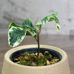 2「伝統園芸植物」百両金・(からたちばな)萬宝錦・バンポウニシキ