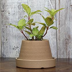 1「伝統園芸植物」紫金牛(やぶこうじ)三保の松・ミホノマツ