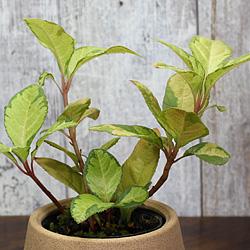 2「伝統園芸植物」紫金牛(やぶこうじ)三保の松・ミホノマツ