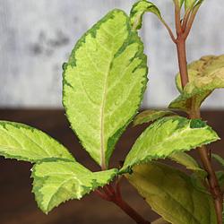 3「伝統園芸植物」紫金牛(やぶこうじ)三保の松・ミホノマツ