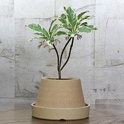 1「伝統園芸植物」紫金牛(やぶこうじ)高輝冠・コウキカン