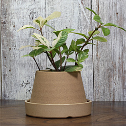 1「伝統園芸植物」紫金牛(やぶこうじ)御代錦・ミヨニシキ