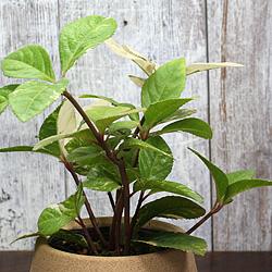 2「伝統園芸植物」紫金牛(やぶこうじ)御代錦・ミヨニシキ