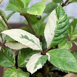 3「伝統園芸植物」紫金牛(やぶこうじ)御代錦・ミヨニシキ