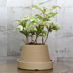 1「伝統園芸植物」紫金牛(やぶこうじ)天の川・アマノガワ