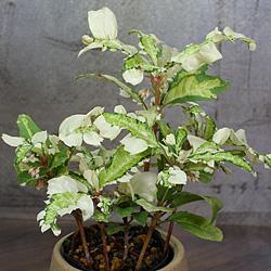 2「伝統園芸植物」紫金牛(やぶこうじ)天の川・アマノガワ