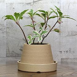 1「伝統園芸植物」紫金牛(やぶこうじ)白王冠・ハクオウカン