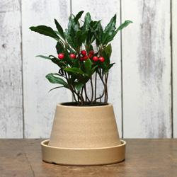 1「伝統園芸植物」紫金牛(やぶこうじ)縮緬 ・チリメン