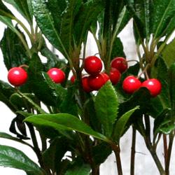 2「伝統園芸植物」紫金牛(やぶこうじ)縮緬 ・チリメン