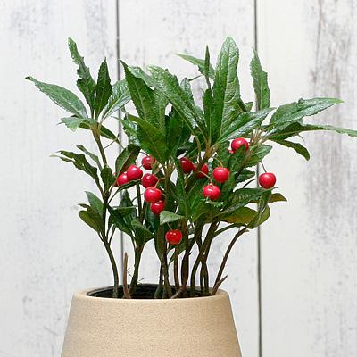 3「伝統園芸植物」紫金牛(やぶこうじ)縮緬 ・チリメン